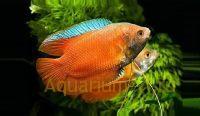 Лялиус лабиринтовые рыбки