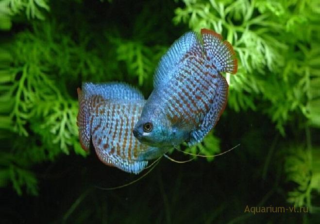 Лялиус кобальтовый Cobalt (Colisa lalia)