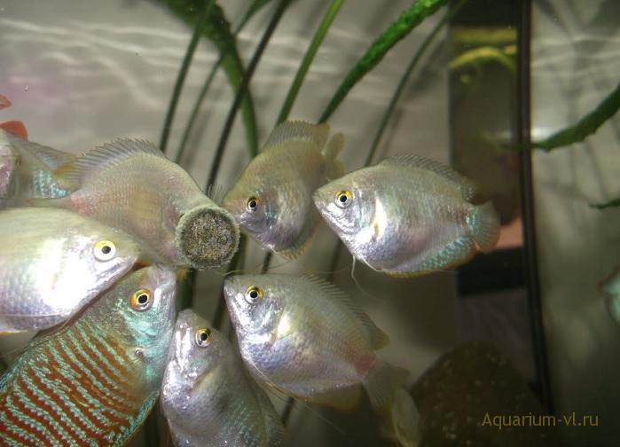 Лялиусы в аквариуме