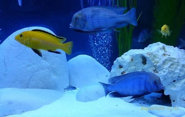 рыбки Cyrtocara moorii
