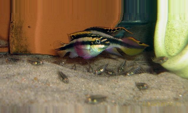 Мальки цихлиды-попугай