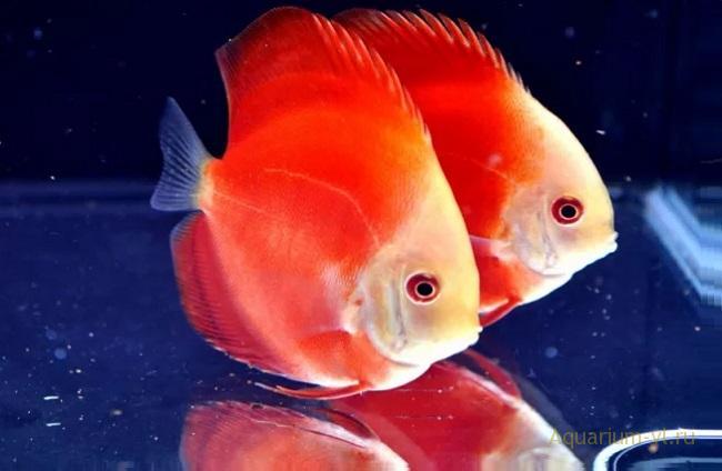 Дискус красный в аквариуме