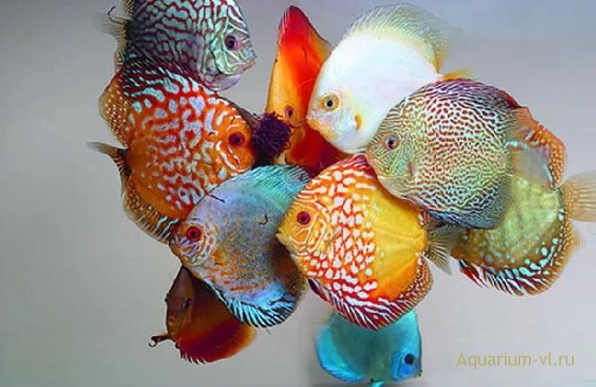 Кормление дискуса в аквариуме