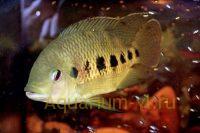 Аквариумная рыбка Тиляпия тигровая