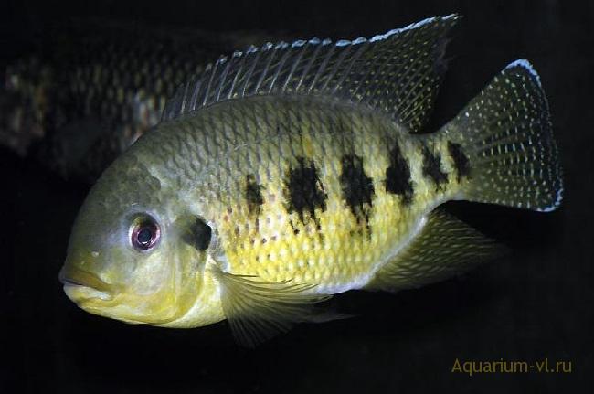Тиляпия аквариумная рыбка