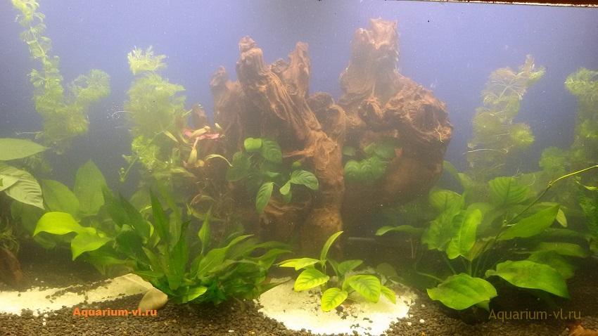 Коряга в аквариуме 450 литров