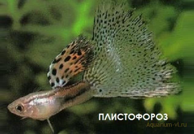 Плистофороз заболевание гуппи