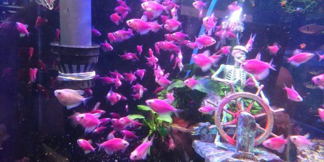Трансгенные аквариумные рыбки