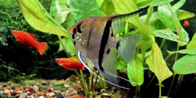 Скалярия обыкновенная в аквариуме