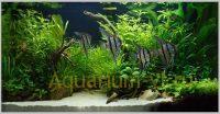 Скалярии в аквариуме 100 литров