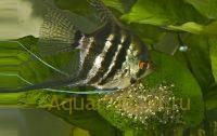 Размножение скалярий в аквариуме