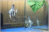 Скалярия с мальками в аквариуме