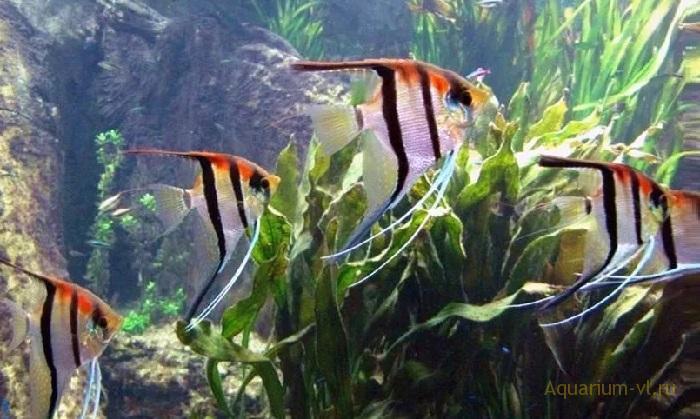 Кормление скалярии в аквариуме