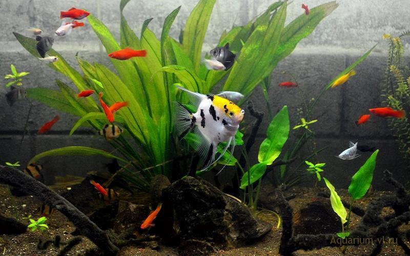 Совместимость пресноводных рыбок