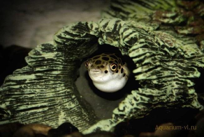 Тетраодон в аквариуме