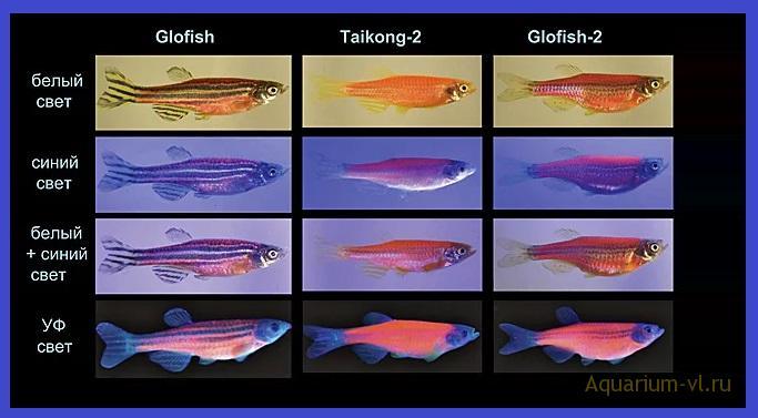 Данио Трансгенные рыбки
