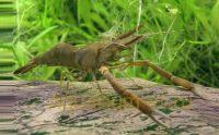 Макробрахиумы креветки