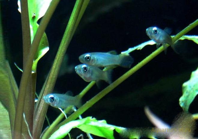 Аплохейлихтис Нормана аквариумная рыбка