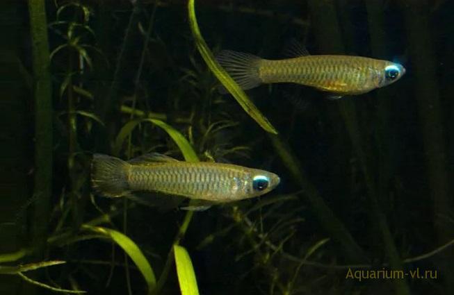 Аквариумная рыбка Аплохейлихтис Нормана