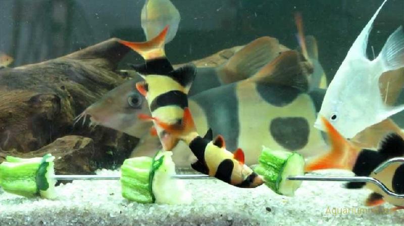 Боция рыбка клоун