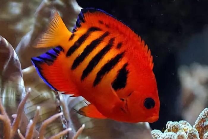 Морские рыбки Центропиг огненный
