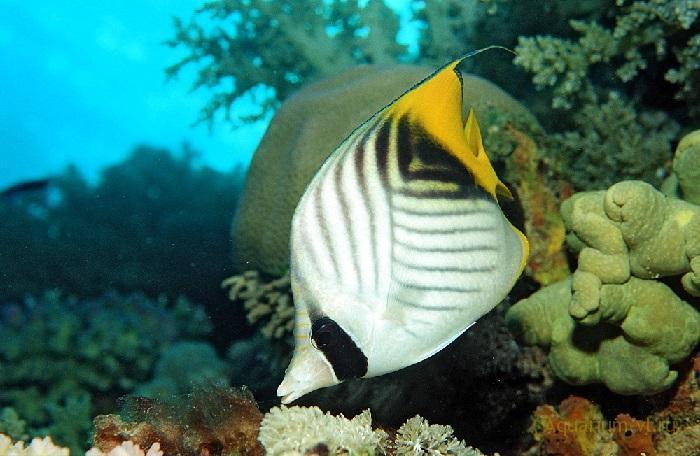 Бабочка клинополосая морские рыбки