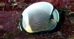Бабочка сетчатая