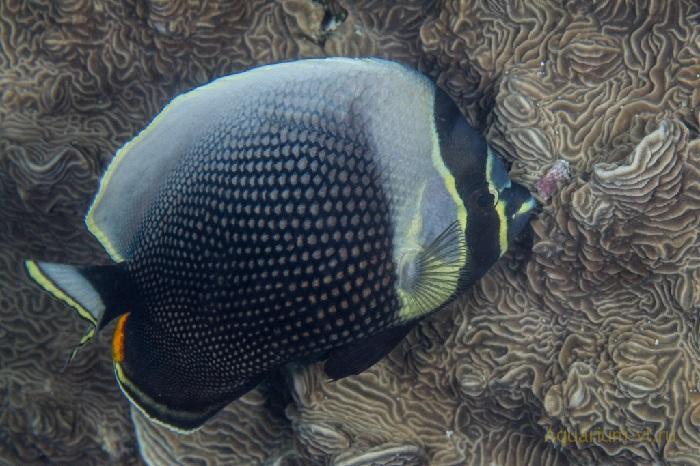 Бабочка сетчатая «ретикулятус»