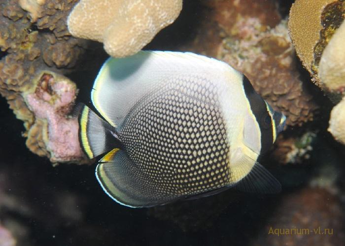 Бабочка сетчатая морская рыбка