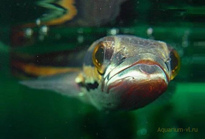 Змееголовы аквариумные рыбки