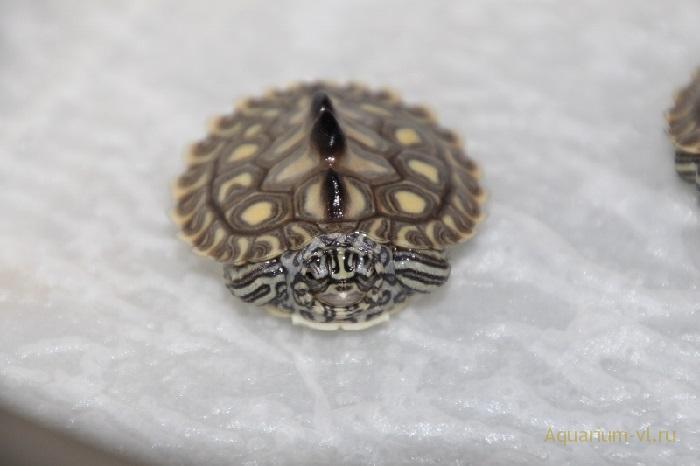 Черепаха Жёлто-пятнистая горбатая