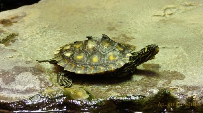 Жёлто-пятнистая черепаха