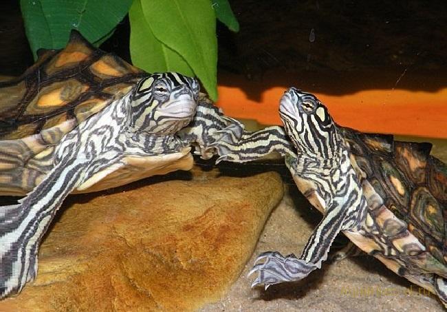 Жёлто-пятнистая горбатая черепаха
