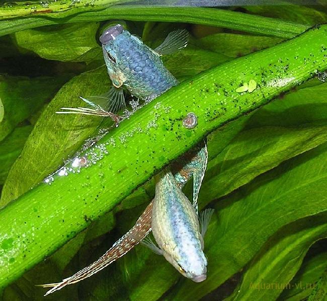 Аквариумная рыбка Макропод