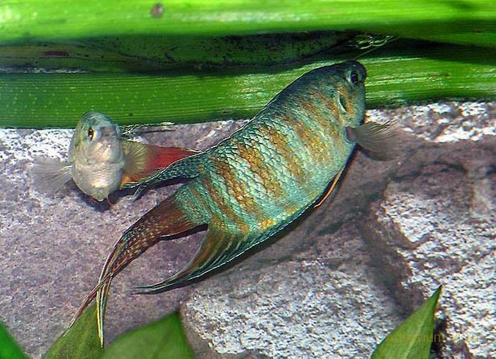 Макропод обыкновенный в аквариуме