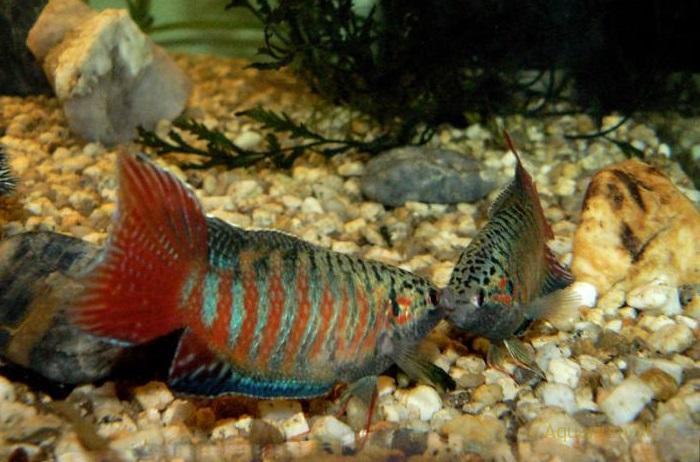 Макропод (райская рыбка)