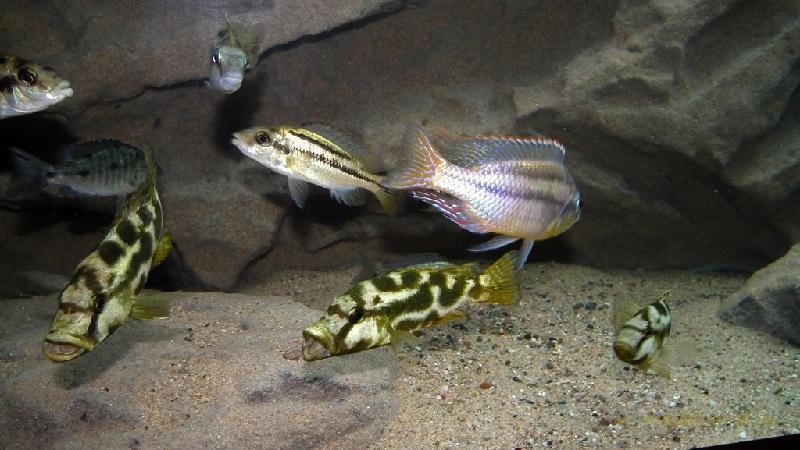 Размножение цихлид Ливингстона