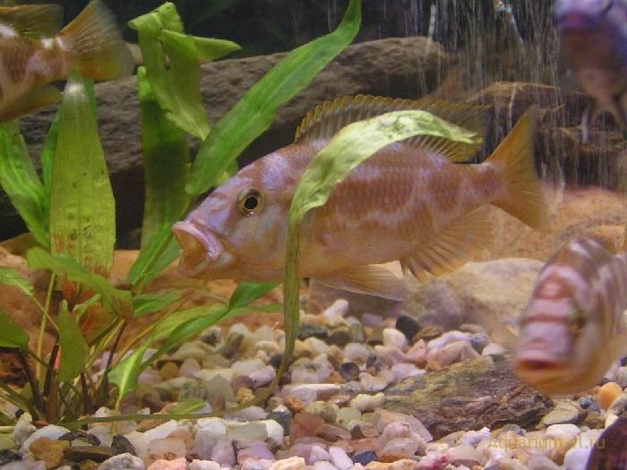Аквариумная рыбка цихлида Ливингстона