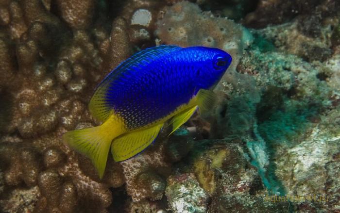 Помацентрус желтобрюхий морские рыбки