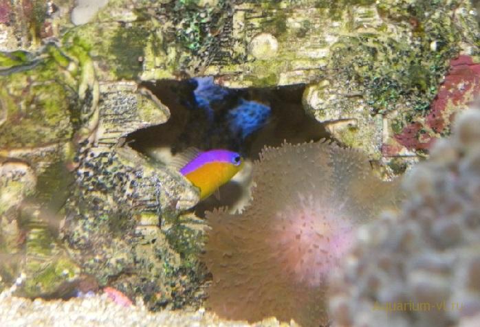 Ложнохромис-диадема морская рыбка