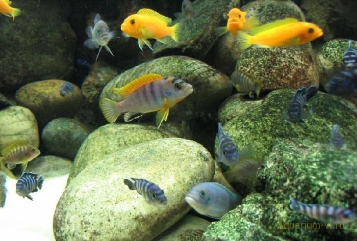 Псевдотрофеус Демасони в аквариуме