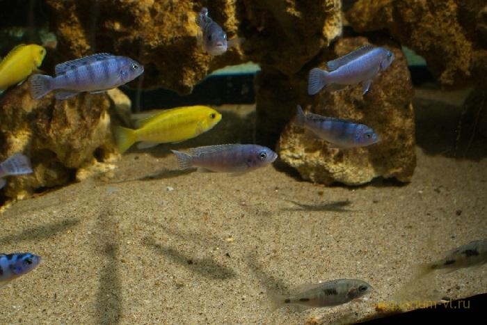 Псевдотрофеус Ломбардо в аквариуме