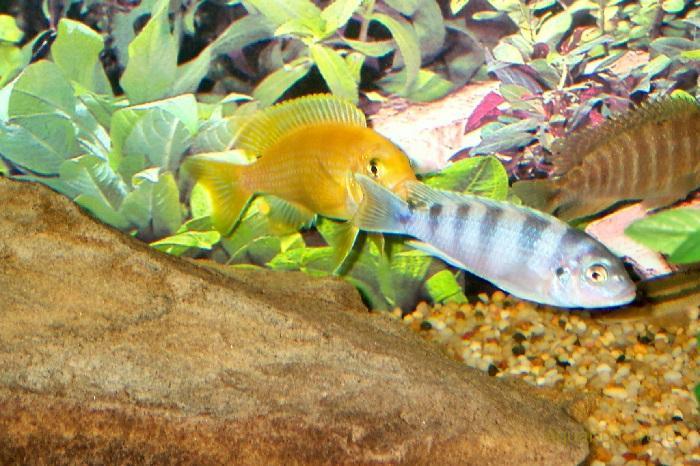 Размножение Pseudotropheus lombardoi