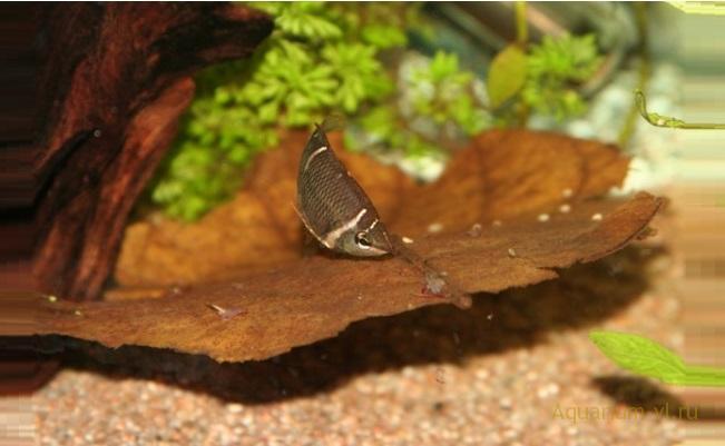 Аквариумная рыбка Гурами шоколадный