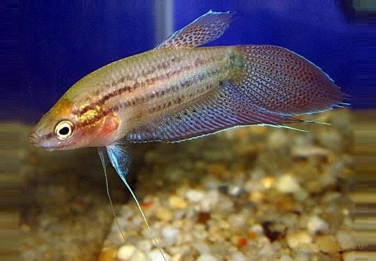 Аквариумные рыбки Гурами ворчащий