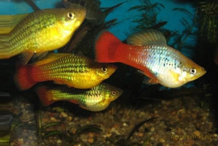 Пецилии стайные рыбки