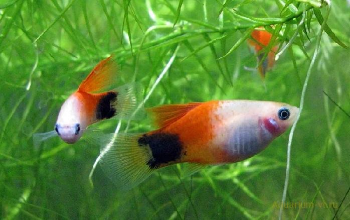 Пецилия многоцветная в аквариуме