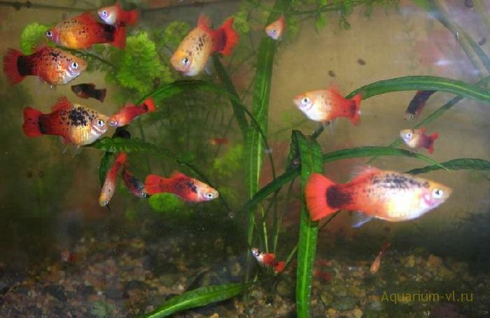 Пецилии живородящие рыбки