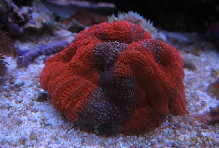 Коралл Акантастрея