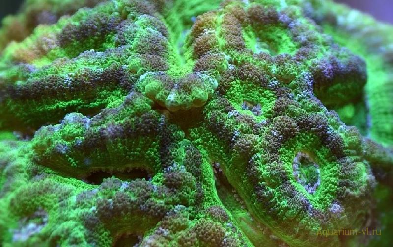 Содержание кораллов Acanthastrea spp.
